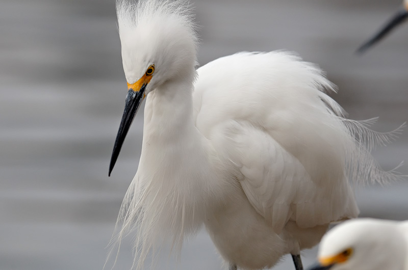 Snowy Egret Photography Flying Fishing And Playing