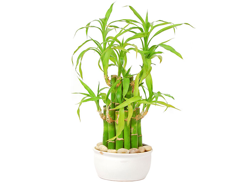 Indoor Bamboo Tree