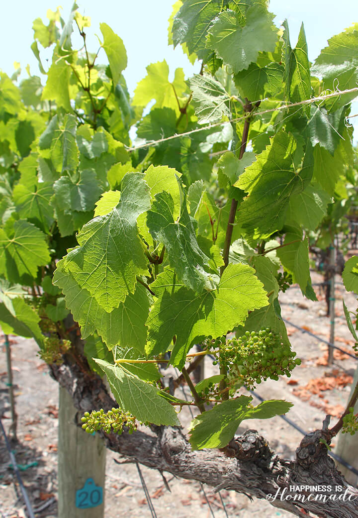 Baby Chardonnay Grapes at Sonoma-Cutrer