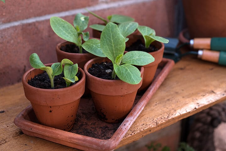 Small seedlings  ready to be transplanted