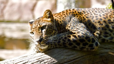 Leopard HQ Wallpapers | HD Wallpapers | ID #8617