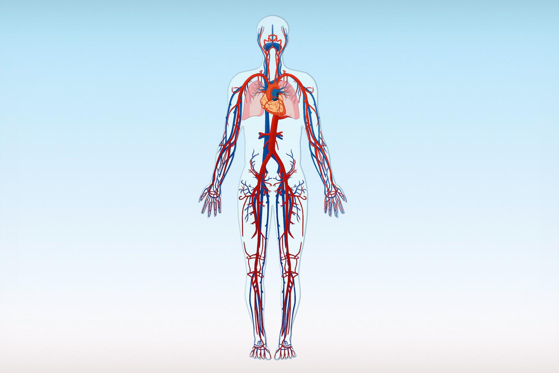 circulatory system images - HD1500×1000