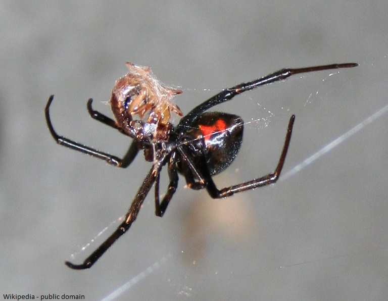 Redback Jumping Spider California