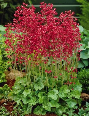 Shady Characters  Plants for Shade and Part Shade   The High Country     Coral Bells  Heuchera sanguinea Firefly