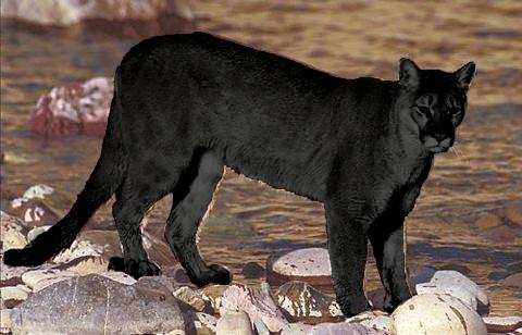 Purr-fect news – Buncrana 'puma' is a cat | Highland Radio ...
