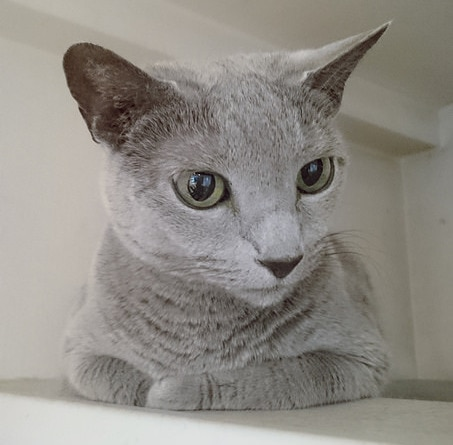 Image of: Russian Russian Blue Cat In White Room Lying On Shelf Photo Blog Russian Blue Cat Facts And Personality Traits Hills Pet