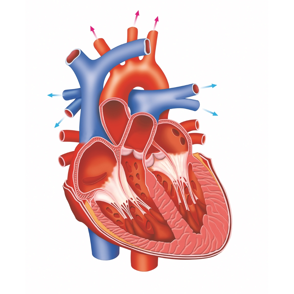 Anatomy Heart Disease Pictures Real