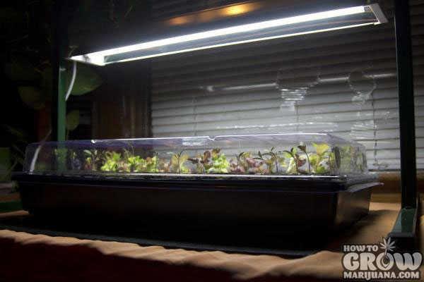 Best Northern Lights Seeds