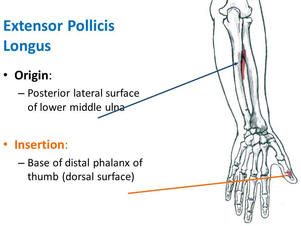 Posterior Interosseous Nerve Innervation
