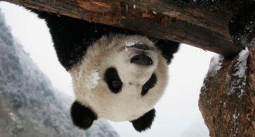 I panda giganti stanno sempre meglio