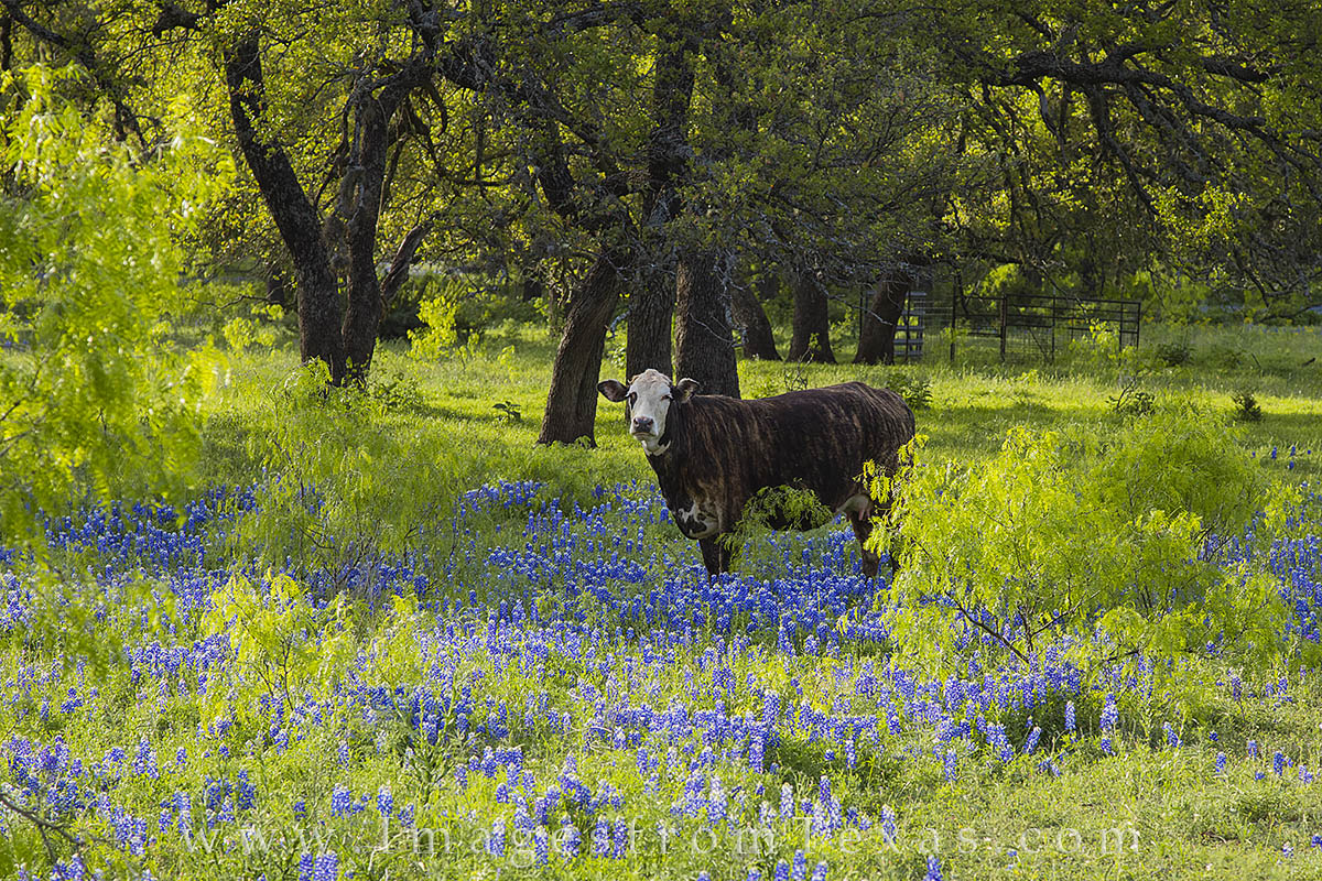 Hill Texas Country Animals