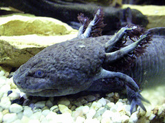 Axolotl eggs could provide a potent weapon in fight against cancer