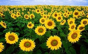 New non-GM technology platform for genetic improvement of sunflower oilseed crop