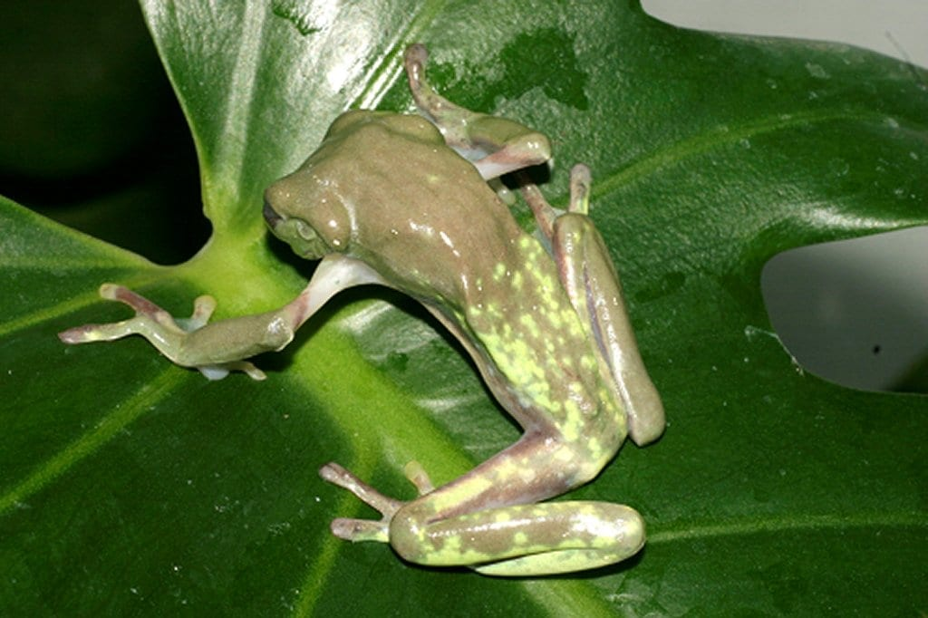 Research Could Lead to Protective Probiotics for Frogs