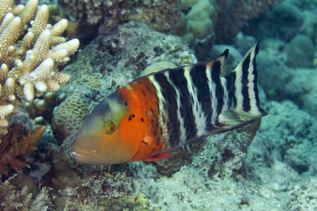 In terms of evolutionary history, less than a quarter of wrasse species receive minimum protection levels. CREDIT Photo credit: João Paulo Krajewski