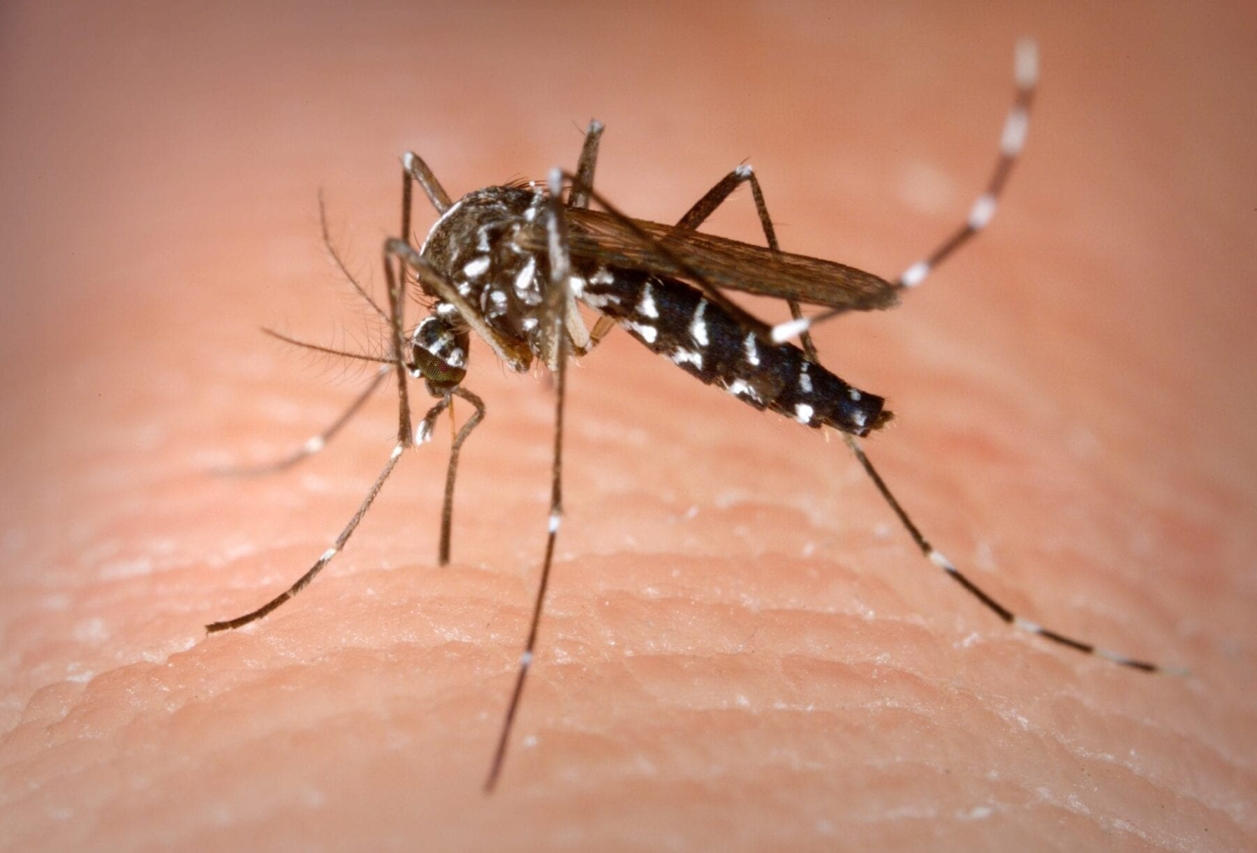 Zika traces found in Asian tiger mosquito in Brasil raises concerns around virus transmission