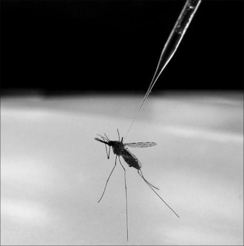 Disease resistance spreads successfully from modified to wild mosquitoes