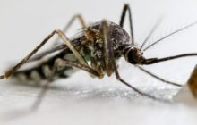 Gene drive technology blocks female reproduction of mosquitoes that can carry malaria