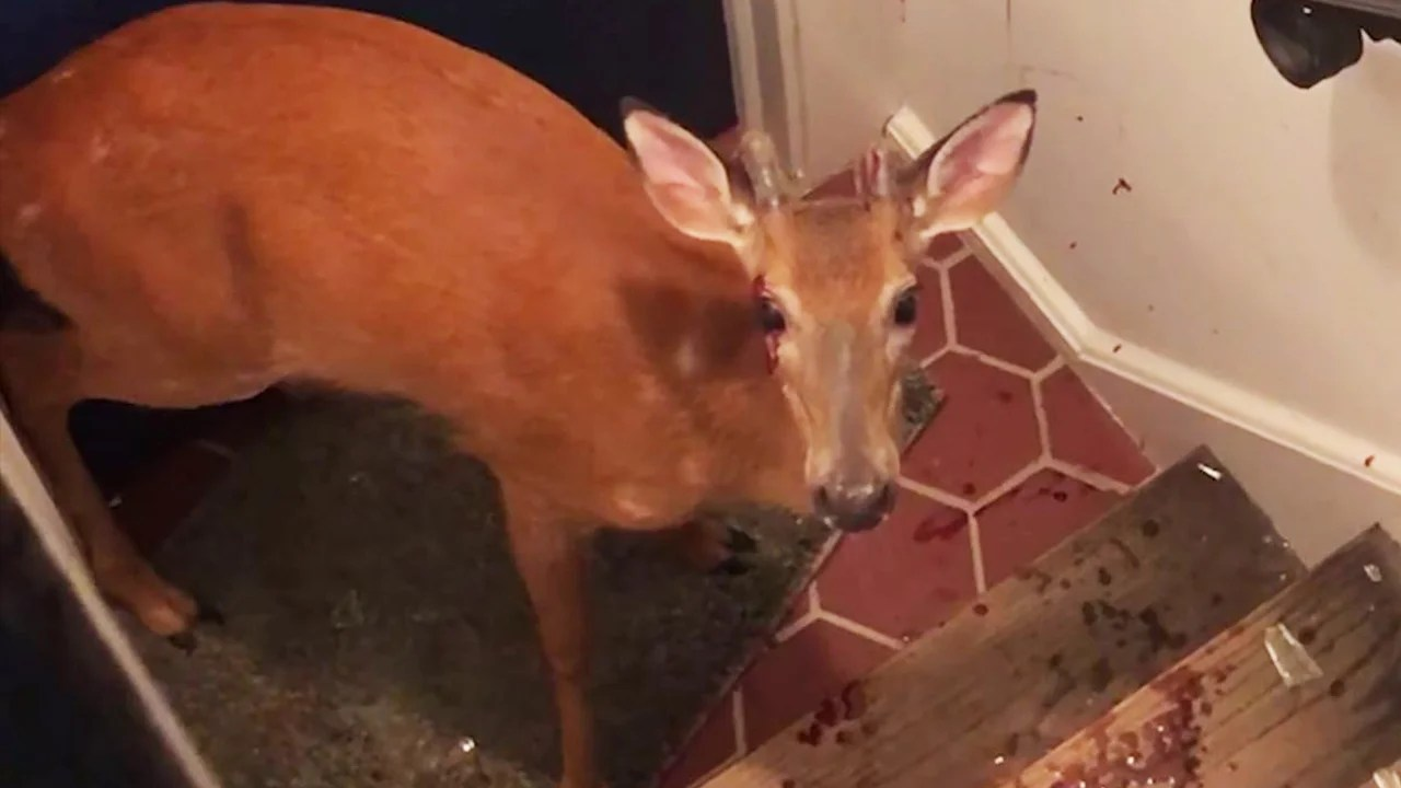 Deer Breaks Into New Jersey Home Gets Trapped In