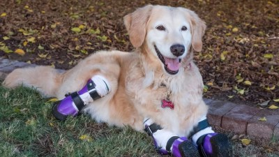 Chi Chi, Golden Retriever With 4 Amputated Legs, Wins ...