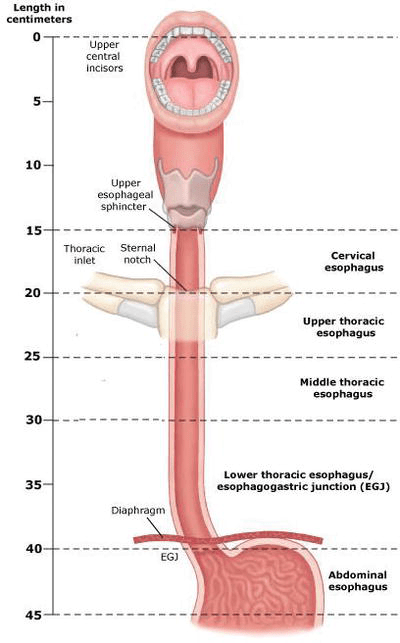 Muscle Layers Four Stomach