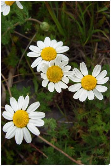 Irish Wildflowers Chamomile
