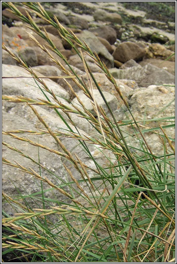 Irish Grasses Sea X Sand Couch Elytrigia X Acuta