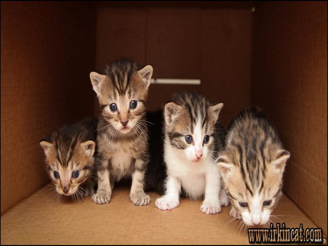 Adoption Free Near Kitten Me