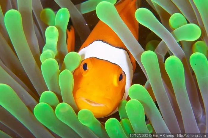Clownfish And Anemone Symbiotic Relationship