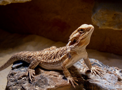 Top 10 Most Popular Pet Reptiles - What on Earth?