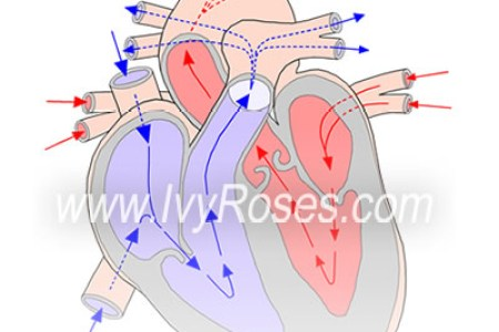 Heart diagram with labels and blood flow new top artists 2018 draw heart and label a labeled diagram of the human heart you really draw heart and label heart human double circulation diagram draw a diagram of human ccuart Gallery