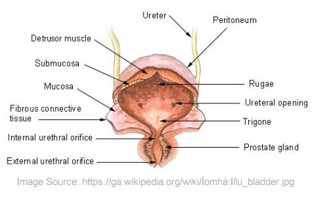 Interior Layer Of The Uterus Electronic Wallpaper Electronic