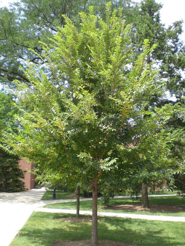 Ulmus Carpinifolia Morton Glossy