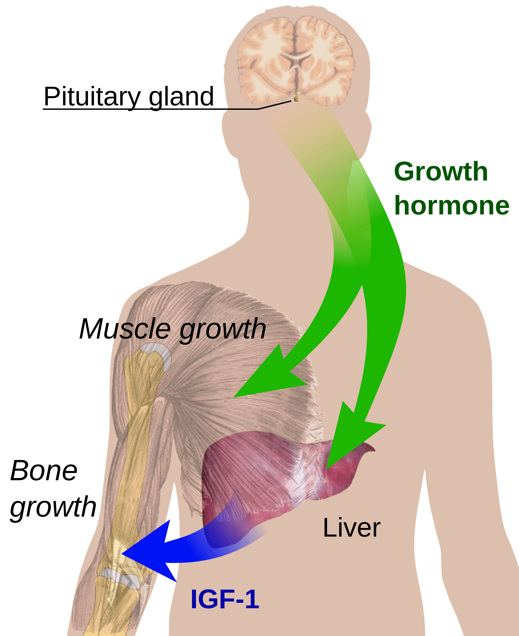 growth hormone, growth hormone replacement therapy, growth hormone deficiency, growth hormone symtoms, growth hormone side effects