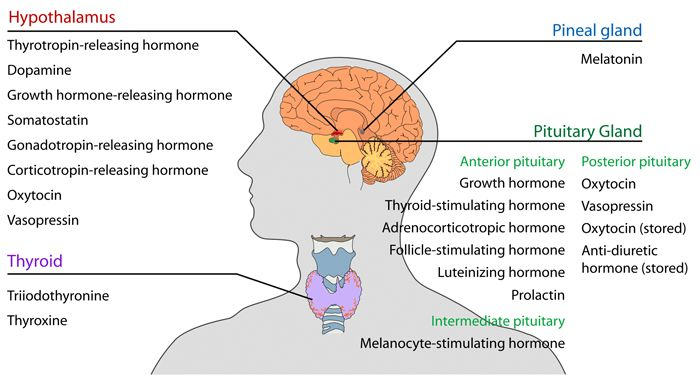Hormones types, hormones definition, hormones function, what do hormones do, list of hormones, are hormones protein