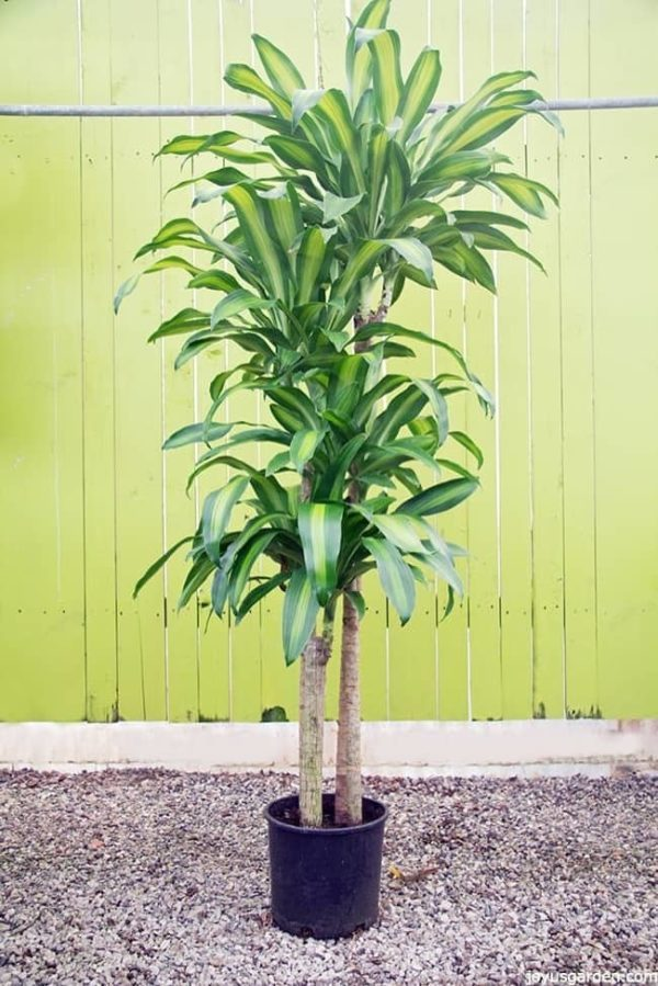 Tall House Plants Easy Care