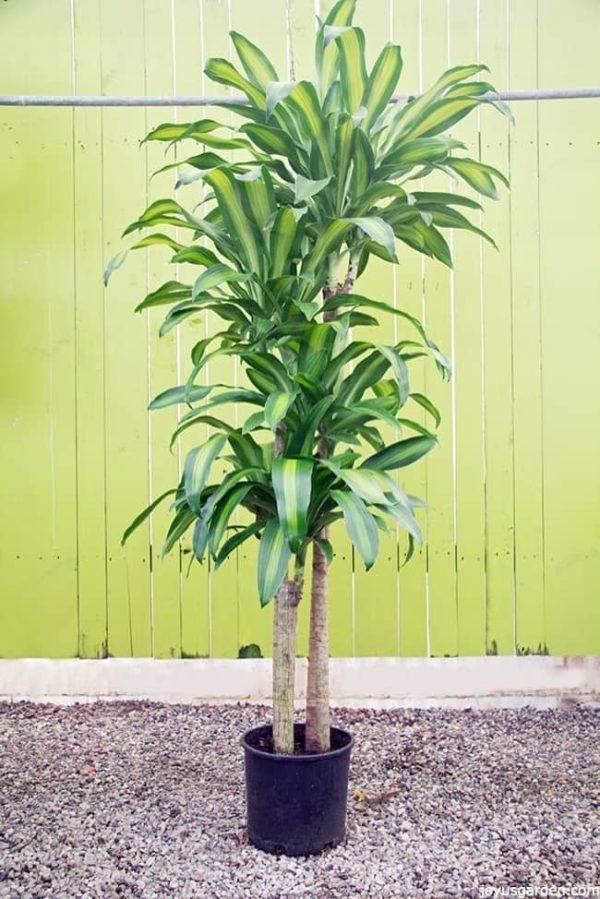 Tall Indoor Plants Big Leaves