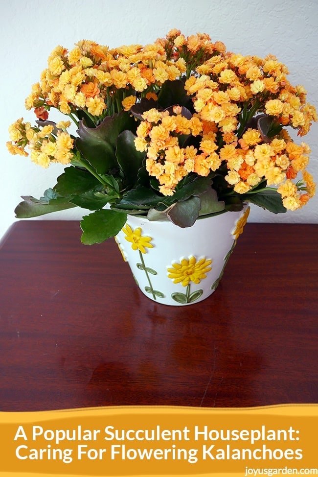 A Popular Succulent Houseplant  Caring For Flowering Kalanchoes     a kalanchoe with fully open double yellow flowers in a white pot with  yellow flowers sits