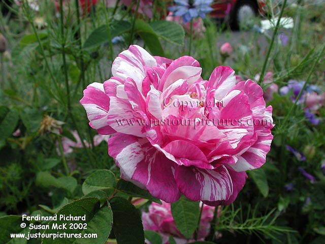 Just Our Pictures Of Roses Favorite Rose Pictures For