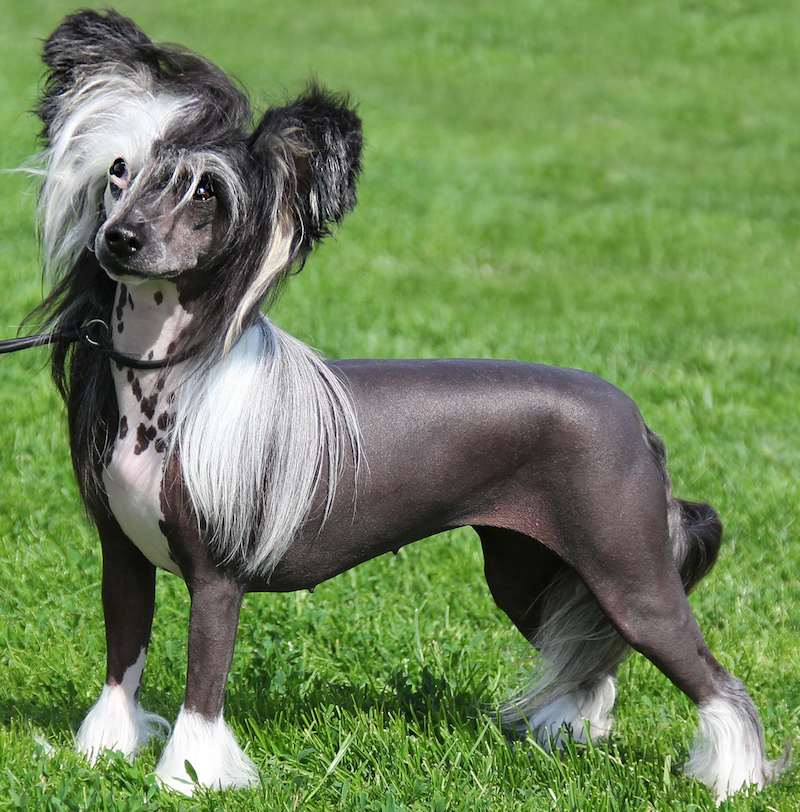 Chinese Crested Dog - Breed Information and Images - K9RL