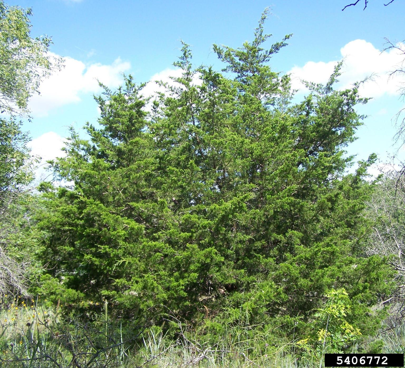 Juniperus Virginiana Manhattan Blue