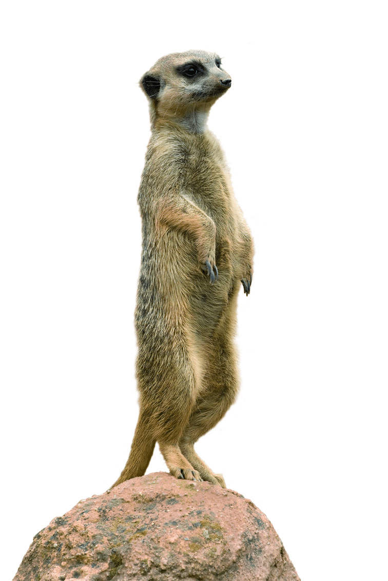 Meerkat pictures kids search, dinosaur coloring pages