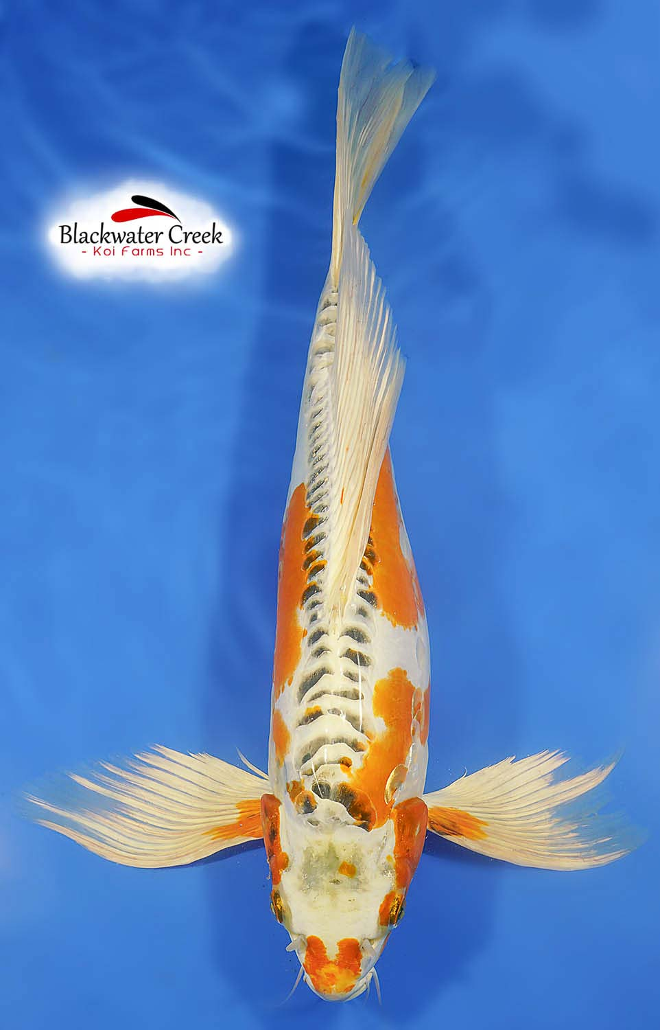 Black And White Butterfly Koi
