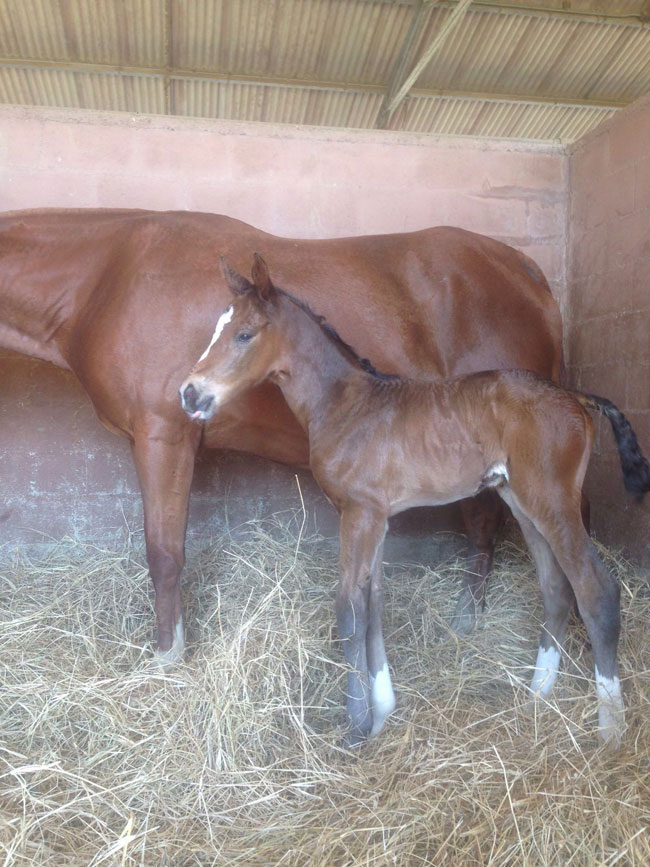 Jaycito S First Foal Born At Haras Vista Hermosa In