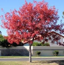 Chinese Pistache Tree Desert Tree Arizona Living