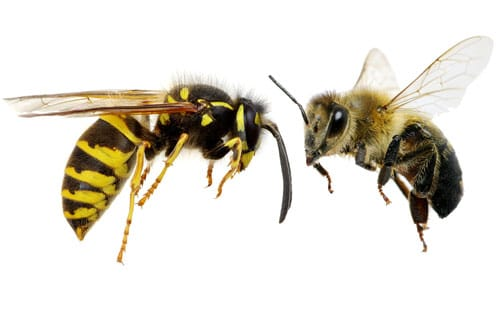 And Between Wasps Jackets Bees Hornets Yellow Difference