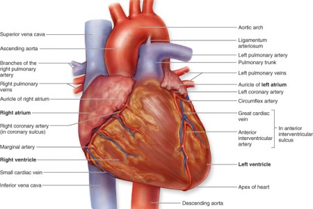 Interior heart structure electronic wallpaper electronic wallpaper label heart anatomy geoface f cf e e label heart anatomy heart anatomy diagram without labels diagrams on pictures the heart labeled valves the circulatory ccuart Gallery