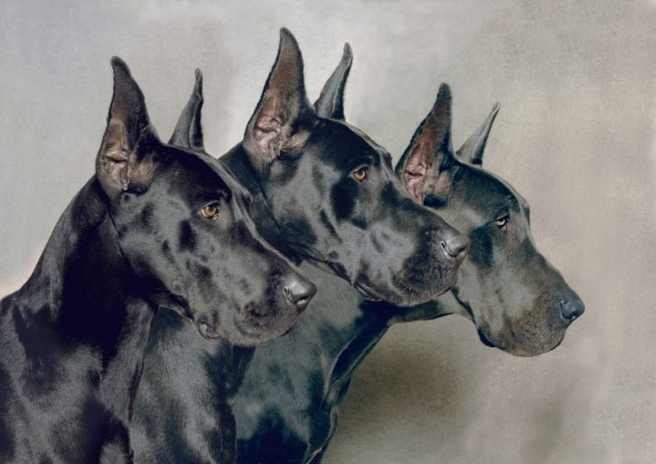 Great Dane Ear Cropping Styles