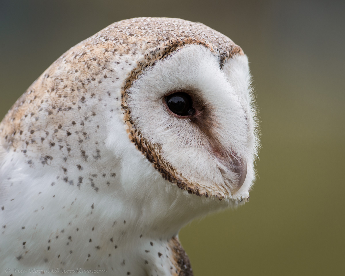 barn owl sounds - HD 1200×960
