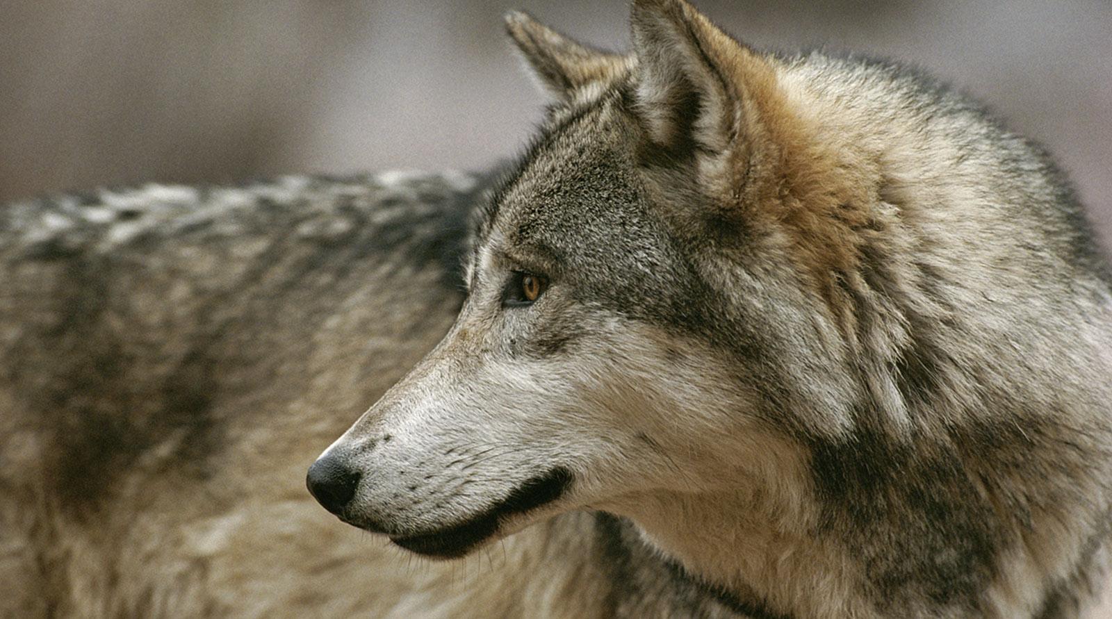 She Geo Pack Nat Wolf